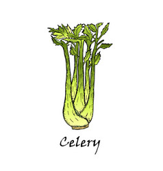 Hand-drawn of green celery vector