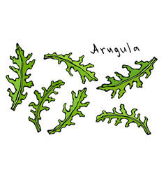 set of arugula rucola rocket salad fresh green vector image