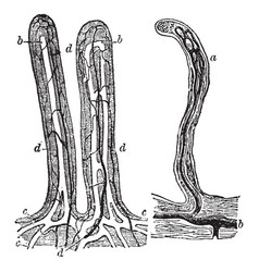 Small intestine villi vintage vector