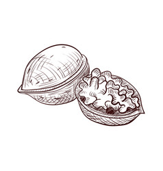 Drawing walnut vector