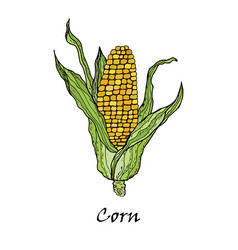 corn vegetable corncob with leaves vector image