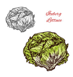 Iceberg lettuce sketch vegetable vector