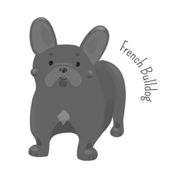French bulldog isolated on white vector image vector image