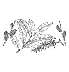 Branch of america willow vintage vector