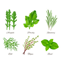 Herbs realistic green food species aromatic vector