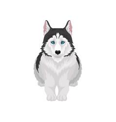 siberian husky lying white and black purebred dog vector image