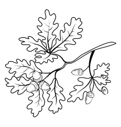 Oak branch with acorns outline vector image vector image