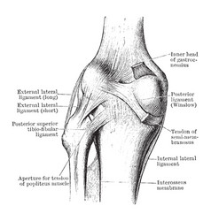 Dissection of knee joint from behind vintage vector