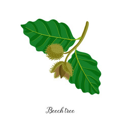 drawing branch beech tree vector image