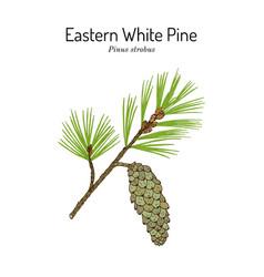 Eastern white pine pinus strobus mtdicinal plant vector