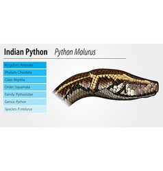 Indian python vector