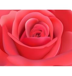 dark pink rose vector image