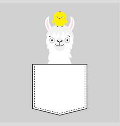 Llama alpaca face head in pocket chicken cute vector