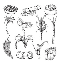 sugar cane plant set farming and agriculture vector image