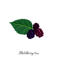 drawing branch muldberry tree vector image