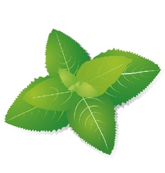 green leaves of fragrant mint on backgroun vector image