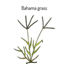 Bermuda or bahama grass cynodon dactylon vector