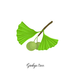 drawing branch ginkgo tree vector image
