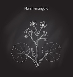 marsh marigold or kingcup caltha palustris vector image