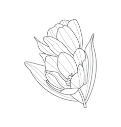 Tulip Flower Monochrome Drawing For Coloring Book vector image