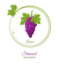 Bunch of purple grapes holiday of shavuot vector