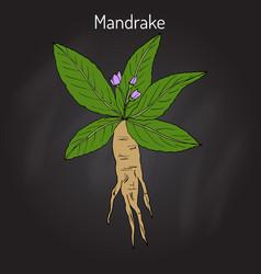 mandrake root or mandragora officinarum vector image