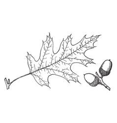 Branch california black oak vintage vector