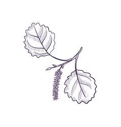Drawing branch aspen tree vector
