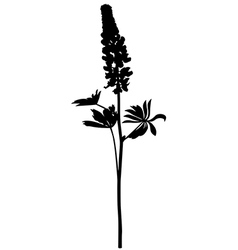 lupine vector image