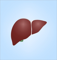 realistic human liver vector image
