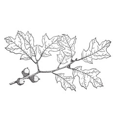Branch of bear oak vintage vector