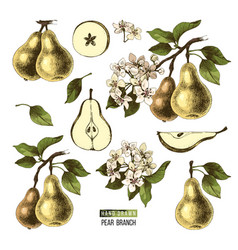hand drawn set of pears vector image