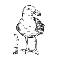 pacific gull vector image