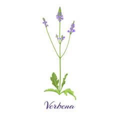 Flowering verbena vector