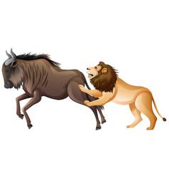 Lion hunting wild buffalo on white background vector