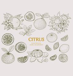 hand drawn citrus botanical set vector image