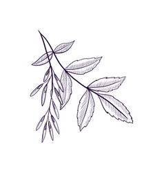 Drawing branch ash tree vector