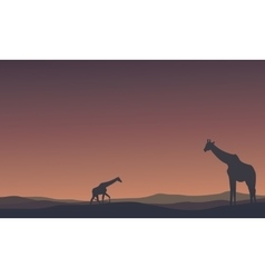 Landscape Giraffe at morning silhouettes vector image vector image