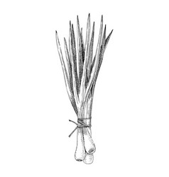 hand drawn spring onions bunch vector image