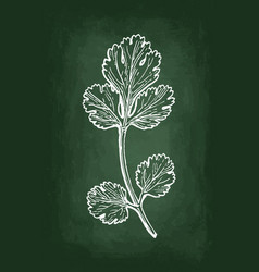 coriander chalk sketch vector image