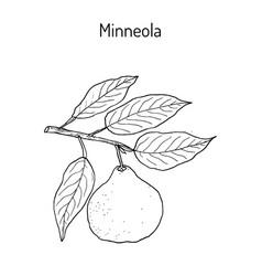 mineola citrus tangelo fruit vector image