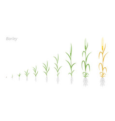 Barley plant growth stages development hordeum vector