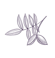 Drawing branch hickory tree vector