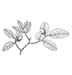 Branch arizona white oak vintage vector