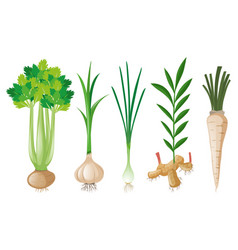 Different types of root vegetables vector