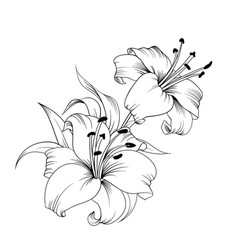 The blooming lily vector
