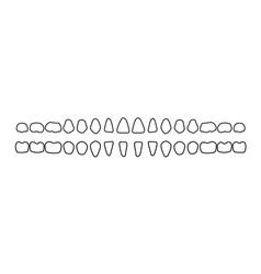 dental row teeth vector image vector image
