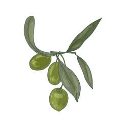 elegant botanical drawing of olive tree branch vector image