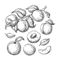Apricot drawing set hand drawn fruit vector