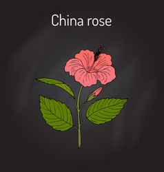 China rose hibiscus rosa-sinensis or vector